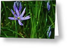 Camas Lily Greeting Card