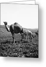 Camel And Young Greeting Card