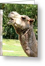 Camel Chewing Greeting Card
