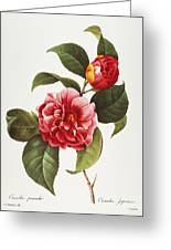 Camellia, 1833 Greeting Card