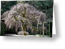 Camperdown Elm Tree Greeting Card