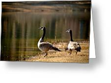 Canada Geese In Golden Sunlight Greeting Card