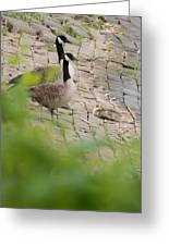 Canada Geese Parents Watching Over Their Young Photograph