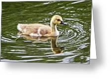 Canada Goose Gosling Greeting Card