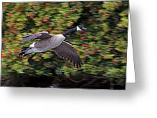 Canada Goose Landing Greeting Card