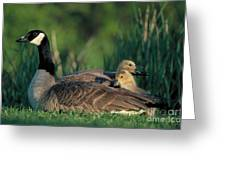 Canada Goose With Goslings Greeting Card by Alan and Sandy Carey and Photo Researchers