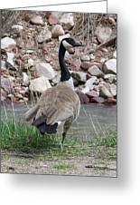 Canadian Goose By The River Greeting Card