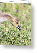 Canadian Gosling Greeting Card