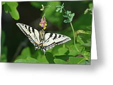 Canadian Tiger Swallowtail Butterfly-underside Greeting Card