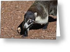 Candid Of A Coati Greeting Card