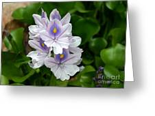 Candlelight Water Hyacinth Bloom Greeting Card