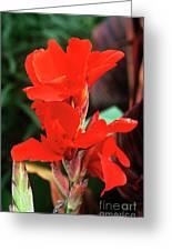 Canna Lily 'lucifer' Greeting Card by Adrian Thomas