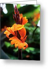 Canna Lily 'roi Humbert' Greeting Card by Adrian Thomas