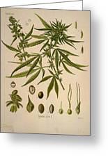 Cannabis Sativa  Greeting Card