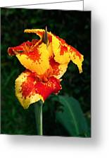 Cannas With Dew Greeting Card