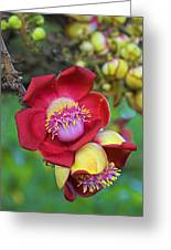 Cannonball Tree Flower-st Lucia Greeting Card