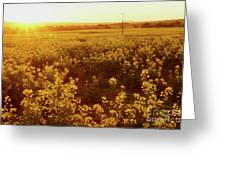 Canola Sunburst Greeting Card