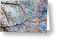 Canopy Of Cherry Blossoms Greeting Card