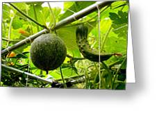 Cantaloupe And Hanging On Tree 1 Greeting Card