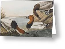 Canvas Backed Duck Greeting Card
