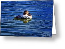 Canvasback And Blue Greeting Card