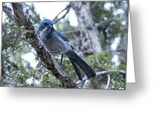 Canyon Jay Greeting Card