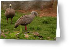 Cape Barren Geese Facing Right Greeting Card