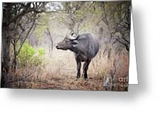 Cape Buffalo In A Clearing Greeting Card