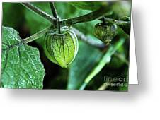 Cape Gooseberry In July Greeting Card