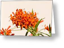 Cape Honeysuckle - The Autumn Bloomer Greeting Card