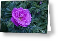Cape Rose Greeting Card