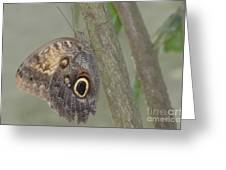 Captivating Photo Of A Brown Morpho Butterfly Greeting Card
