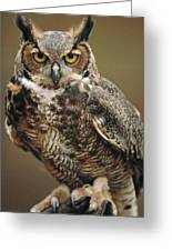 Captive Great Horned Owl, Bubo Greeting Card