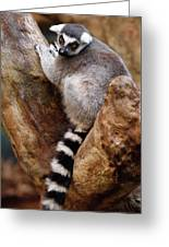 Captive Ring Tailed Lemur Perched In A Stone Tree Greeting Card