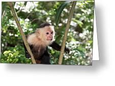 Capuchin II Greeting Card
