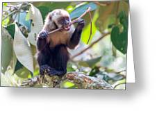 Capuchin Monkey Chewing On A Stick Greeting Card