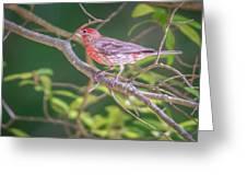 Cardinal Bird In The Wild In South Carolina Greeting Card