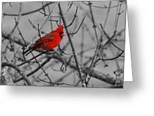 Cardinal Colorized Greeting Card