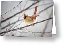 Cardinal Facing A Brisk Wind Greeting Card