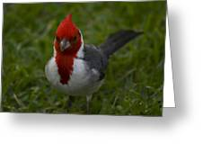 Cardinal Front View In Grass Greeting Card
