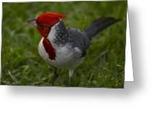 Cardinal Grazing In Grass Greeting Card