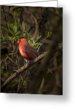 Cardinal In The Spotlight Greeting Card