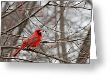 Cardinal In The Winter Greeting Card