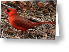 Cardinal On Pine Straw Greeting Card