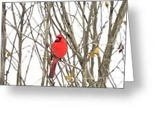 Cardinal Resting Greeting Card