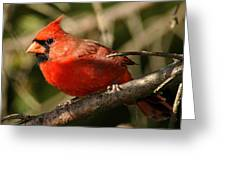 Cardinal Up Close Greeting Card
