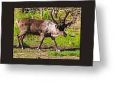 Caribou Antlers In Velvet Greeting Card