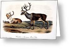 Caribou (rangifer Caribou): Greeting Card