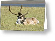 Caribou Rest Greeting Card
