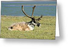 Caribou Resting Greeting Card